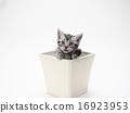 美國短毛碗一隻小貓 16923953
