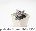 美國短毛碗一隻小貓 16923955