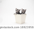 Two kittens of American short-haired kitten in a bowl 16923956