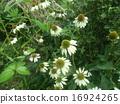 에키 나 세아의 흰 꽃 16924265