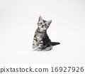 看美國短髮小貓的美國小貓 16927926