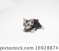cat, american shorthair, animal 16928874