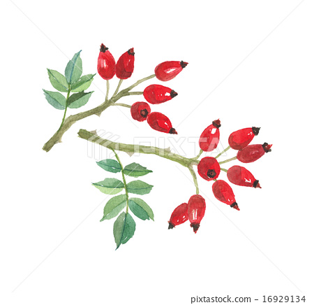 rosehip, botanic, red berry 16929134