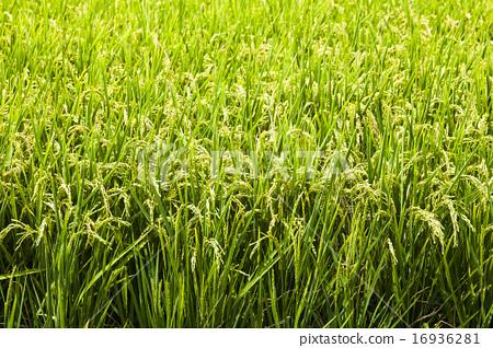 金黃色的稻穗 16936281