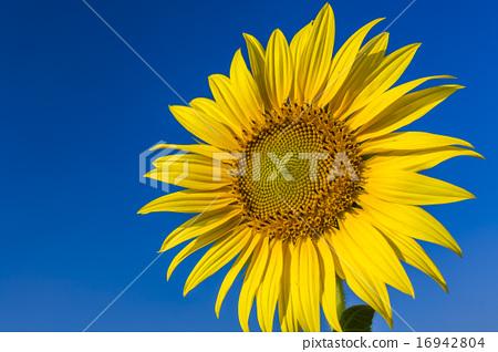 一朵向日葵 16942804