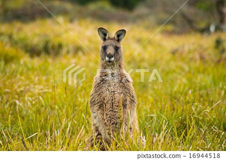 Kangaroo 16944518
