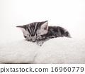 美国短毛猫 动物 猫 16960779