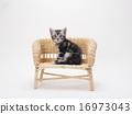 在藤條椅子的一隻美國短髮小貓 16973043