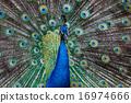 peacock, peafowl, portrait 16974666