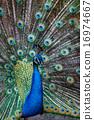 peacock, peafowl, portrait 16974667