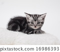 猫 猫咪 美国短毛猫 16986393