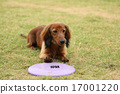 Dachshund playing with Frisbee 17001220