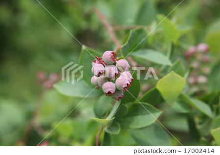藍莓 17002414