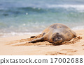 monk seal at kauai 17002688