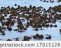 Seaweed 17015126