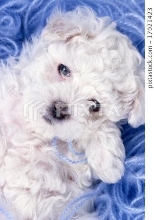 Cute little puppy 17021423