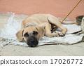 Homeless dog lying on the ground 17026772