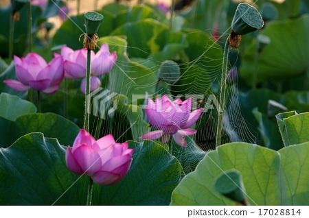 蜘蛛的線程 17028814