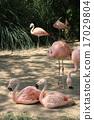 group, flamingo, flamingoes 17029804