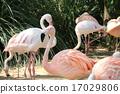 group, flamingo, flamingoes 17029806