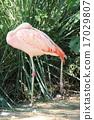 flamingo, flamingoes, flamingos 17029807