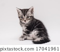 橫向美國短髮小貓 17041961