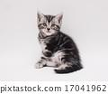 微笑的美國短髮小貓 17041962