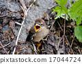 親愛的 伯勞鳥 幼鳥 17044724