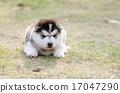 小狗 西伯利亚 可爱 17047290