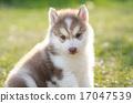 小狗 西伯利亚 可爱 17047539