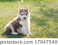 小狗 西伯利亚 可爱 17047540