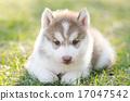 小狗 西伯利亚 可爱 17047542