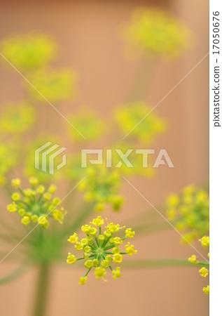 회향 노란 꽃 17050676