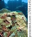 熱帶魚 珊瑚 海鱔 17054145