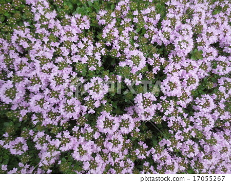 floret, light purple, purple 17055267