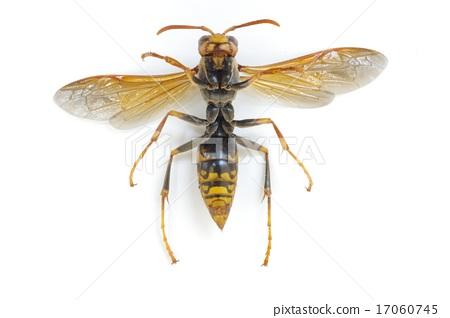Seguro Asinagabachi (dark-legged bee) - Ashiganaga beak overall 17060745