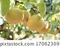 豐水梨 水果 梨 17062309