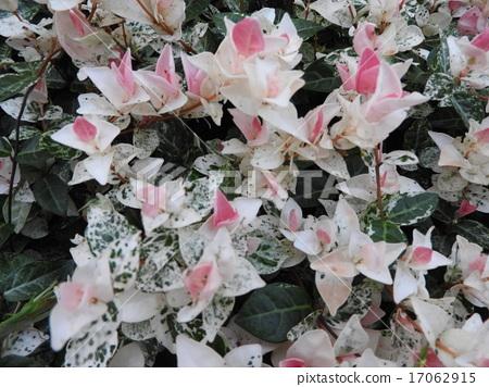 분홍색 새싹과 흰 점박이의 잎이 매우 아름다운 관엽 식물, 하쯔유키카즈라. 17062915