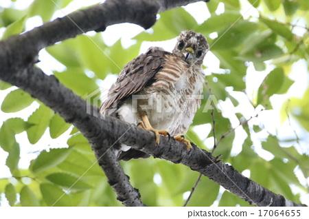 Tsumi's chick 17064655