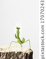 螳螂 螳 昆蟲 17070243