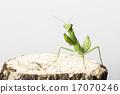 螳螂 螳 昆蟲 17070246