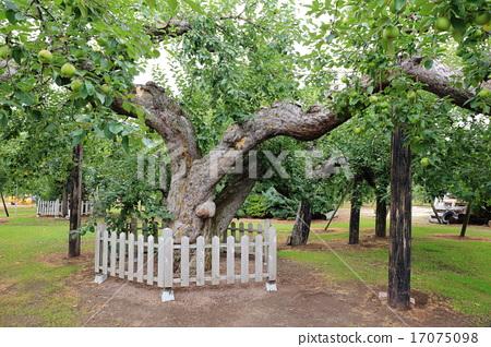 일본에서 가장 오래된 사과 나무 17075098
