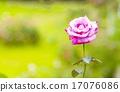ดอกไม้บาน,เบ่งบาน,บานสะพรั่ง 17076086