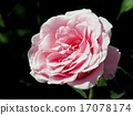 Pink French Lace Roses 17078174