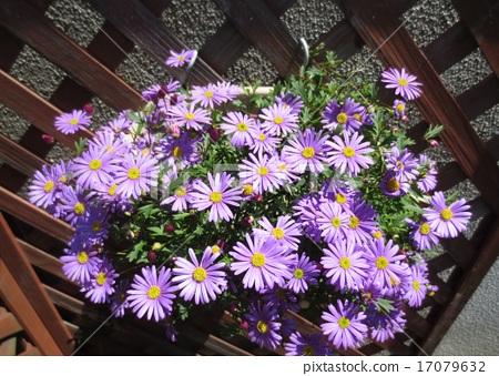 yellow, purple, beautiful 17079632