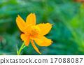코스모스, 꽃, 노랑 17088087