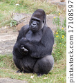Silver backed male Gorilla 17108597