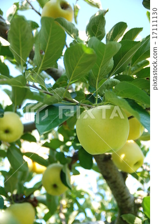 Apple Bear Fruit Images