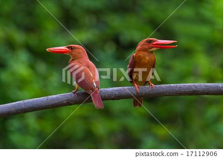 Ruddy Kingfisher 17112906