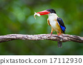 Black-capped Kingfisher 17112930